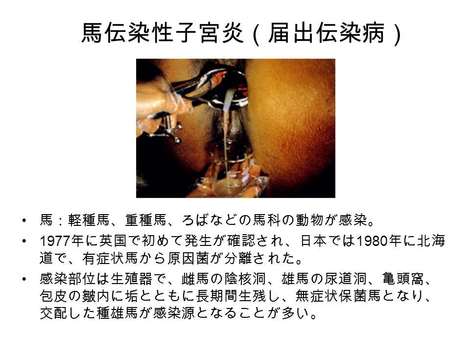馬伝染性子宮炎(届出伝染病) 馬:軽種馬、重種馬、ろばなどの馬科の動物が感染。 1977 年に英国で初めて発生が確認され、日本では 1980 年に北海 道で、有症状馬から原因菌が分離された。 感染部位は生殖器で、雌馬の陰核洞、雄馬の尿道洞、亀頭窩、 包皮の皺内に垢とともに長期間生残し、無症状保菌馬となり、 交配した種雄馬が感染源となることが多い。