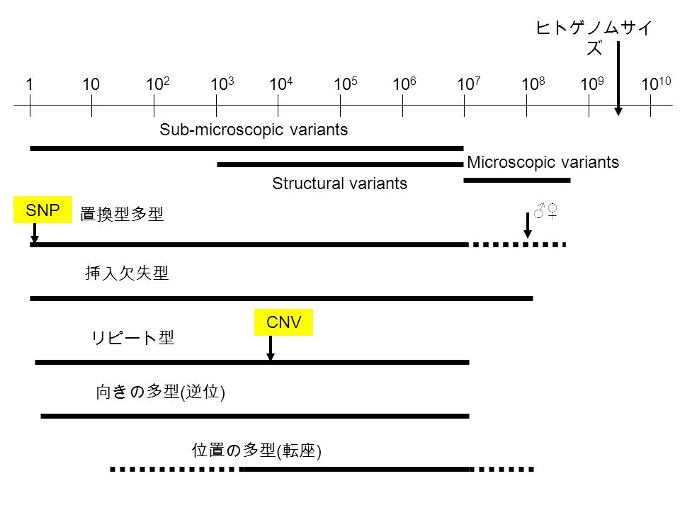 1010 2 10 3 10 4 10 5 10 6 10 7 10 8 10 910 1 Sub-microscopic variants Structural variants Microscopic variants ヒトゲノムサイ ズ 置換型多型 SNP 挿入欠失型 リピート型 向きの多型 ( 逆位 ) 位置の多型 ( 転座 ) CNV ♂♀