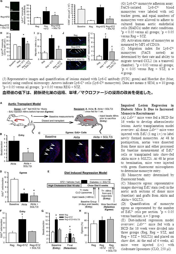 (G) Ly6-C hi monocyte adhesion assay.