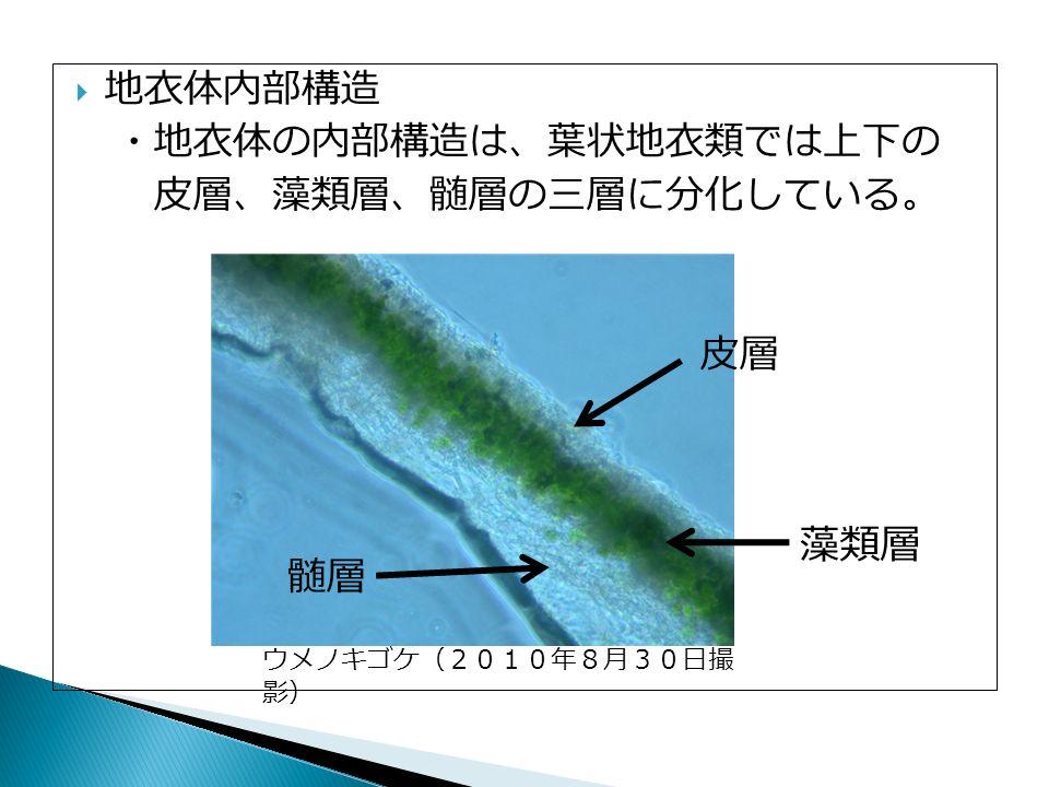  地衣体内部構造 ・地衣体の内部構造は、葉状地衣類では上下の 皮層、藻類層、髄層の三層に分化している。 皮層 藻類層 髄層 ウメノキゴケ(2010年8月30日撮 影)